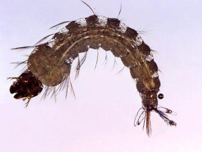 female-mosquito-1332276_640