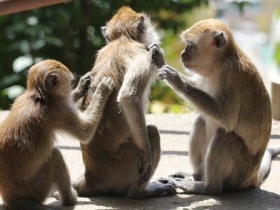 monkeys-2084236_640
