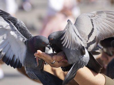 pigeons-3346416_1280