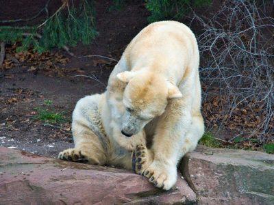 polar-bear-4895843_640