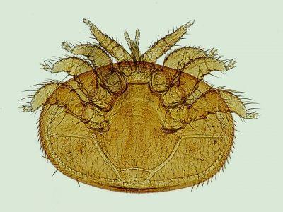 varroa-1196510_640